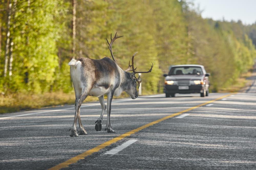 animale investito in autostrada